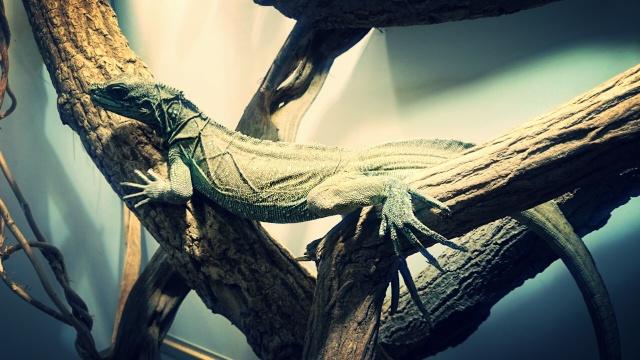 Hydrosaurus Amboinensis Img_2011