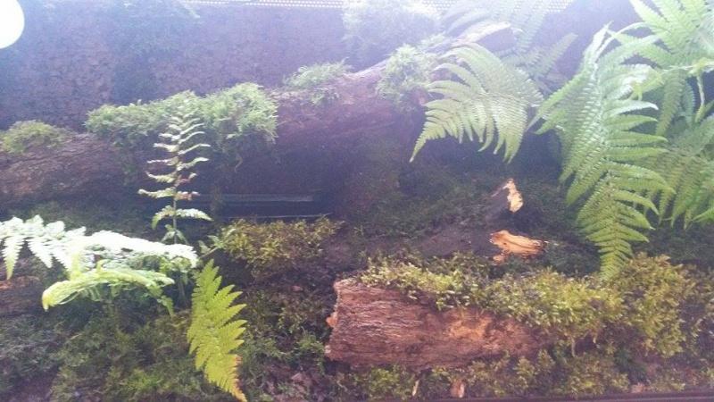 Infos sur terrarium pour Tribolonotus gracilis - Page 2 11349010
