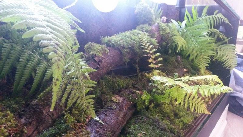 Infos sur terrarium pour Tribolonotus gracilis - Page 2 11667011
