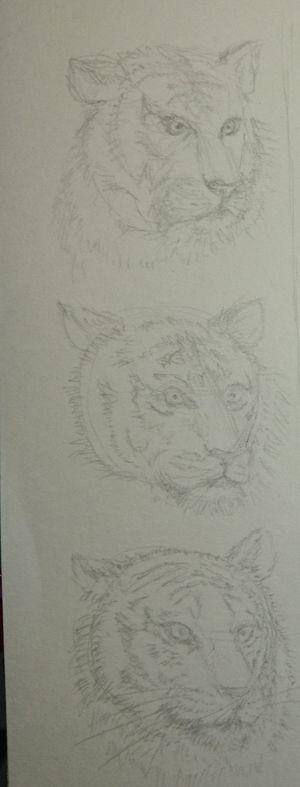 Etude: têtes de tigre Dsc_0220