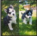 "Maximus ""Max"" Born May 1, 2015 @maximus_pup 11651210"