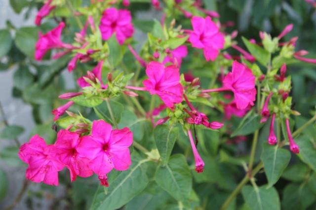 Floraisons du mois d'Août - Page 10 Img_3320