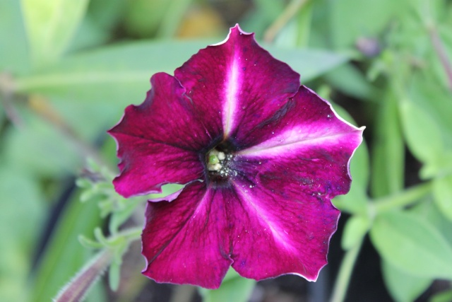 Floraisons du mois d'Août - Page 10 Petuni10
