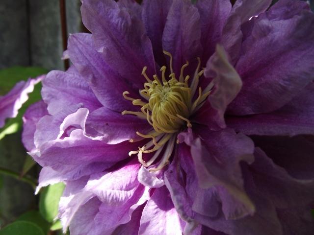 Hahnenfußgewächse (Ranunculaceae) - Winterlinge, Adonisröschen, Trollblumen, Anemonen, Clematis, uvm. - Seite 7 Garten11