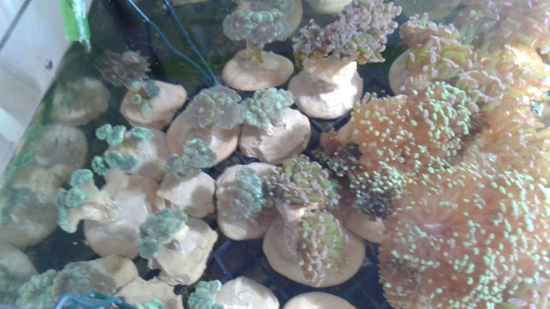 vends coraux A11