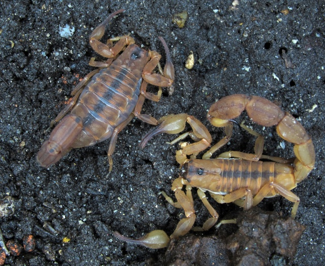 [FS] rare scorpions or new in Hobby Wituen10