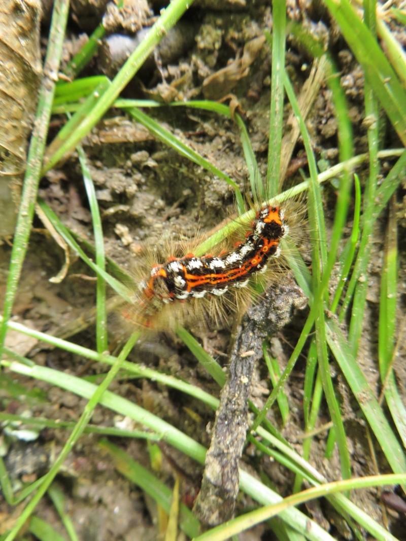 [Euproctis similis] Chenille du Cul-brun Juin_217