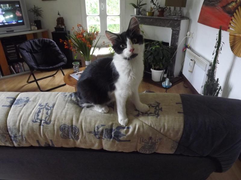 Guismo, chaton noir et blanc poils mi longs 2 mois IE n° 250269810587402 Dscf3012