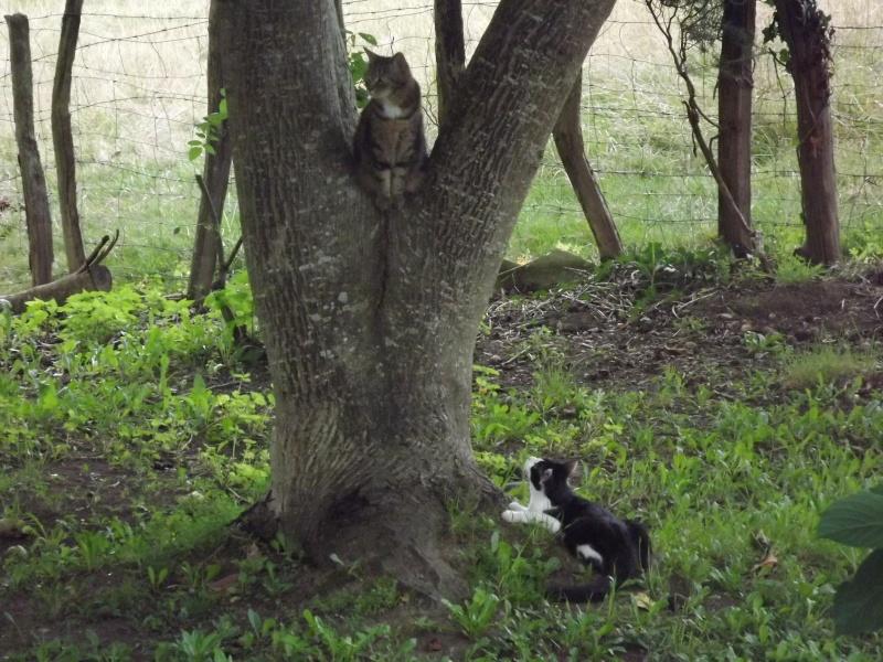 Guismo, chaton noir et blanc poils mi longs 2 mois IE n° 250269810587402 Dscf3116