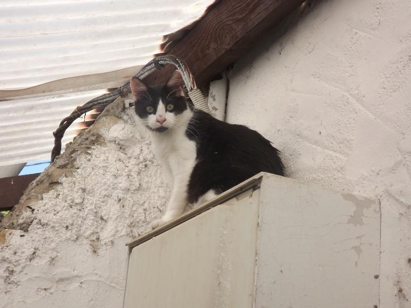 Guismo, chaton noir et blanc poils mi longs 2 mois IE n° 250269810587402 Dscf3118