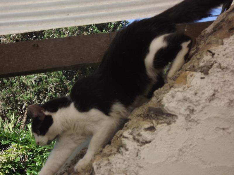 Guismo, chaton noir et blanc poils mi longs 2 mois IE n° 250269810587402 Dscf3119