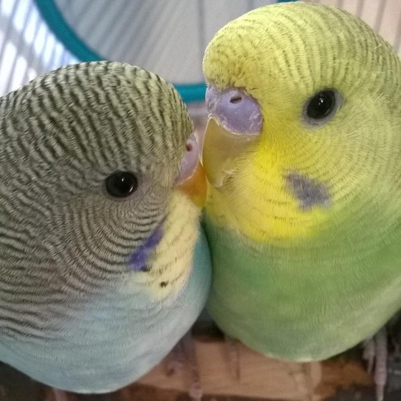 sexage de mes deux perruches  Instag10