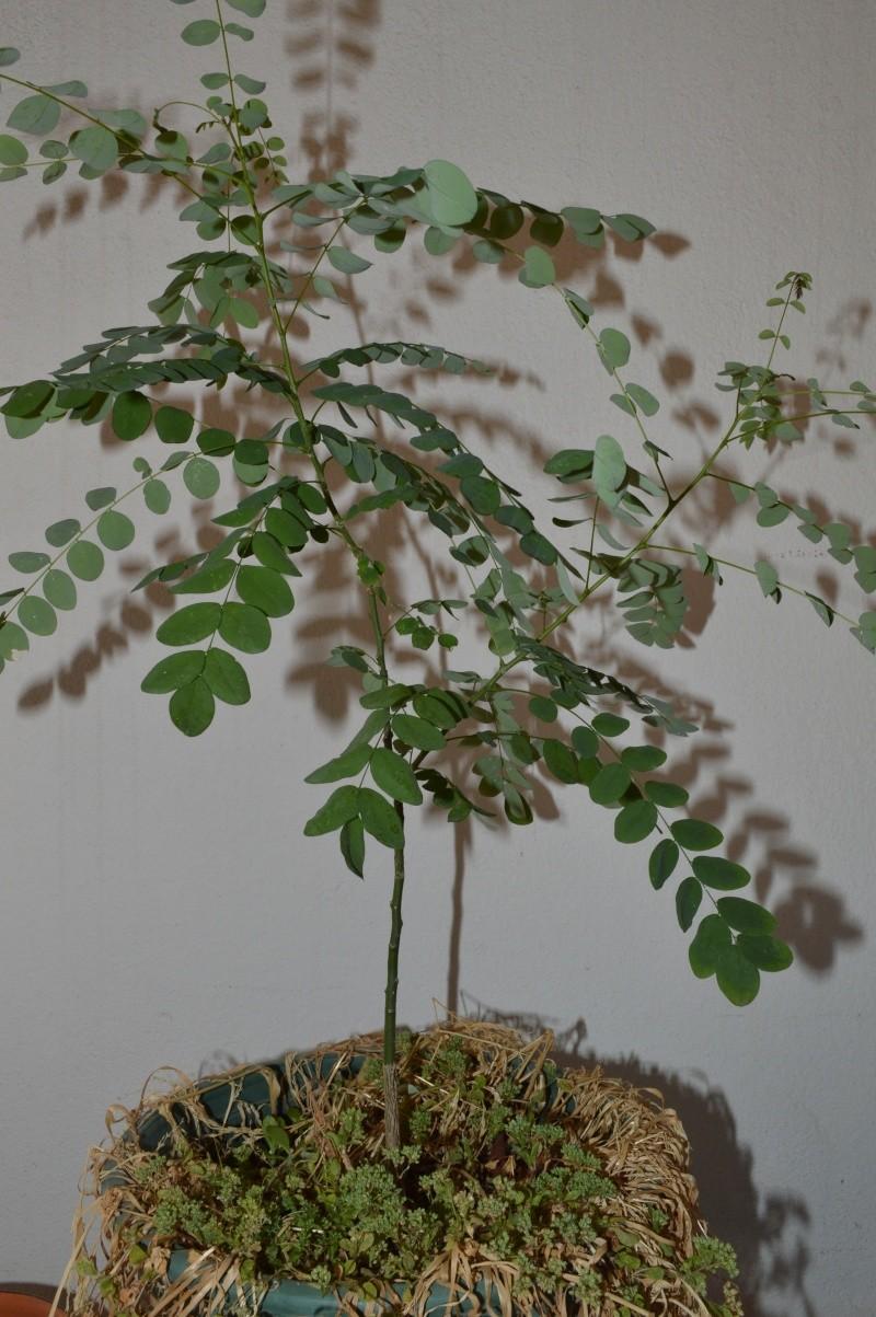 sophora japonica Dsc_4420