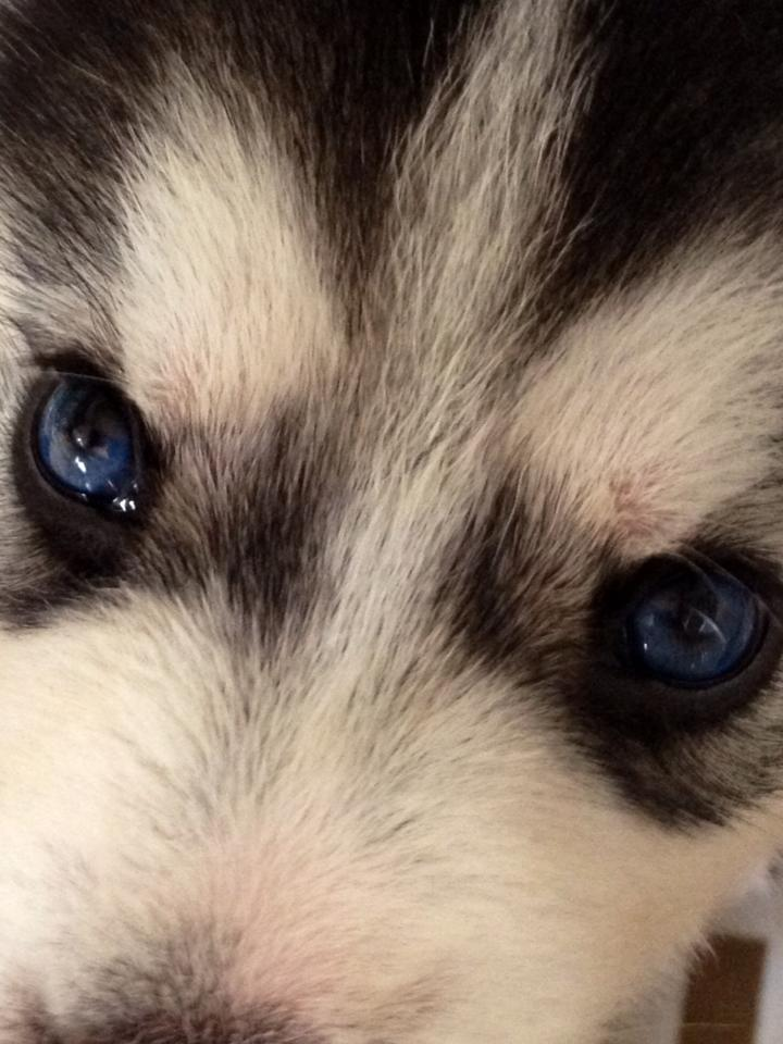 Will my parti-eyed puppy change his eye color? My_hus11