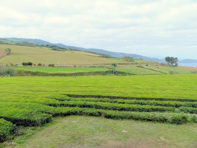 Exploitation de thé sur l'île São Miguel des Açores au Portugal.  11318910