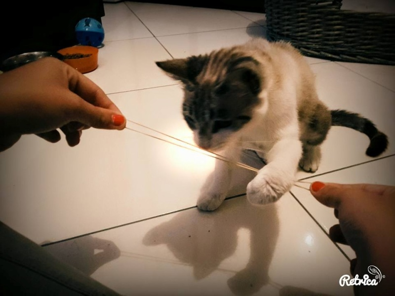 Laïka jeune chatte typée siamoise, gestante, à la rue 11009910