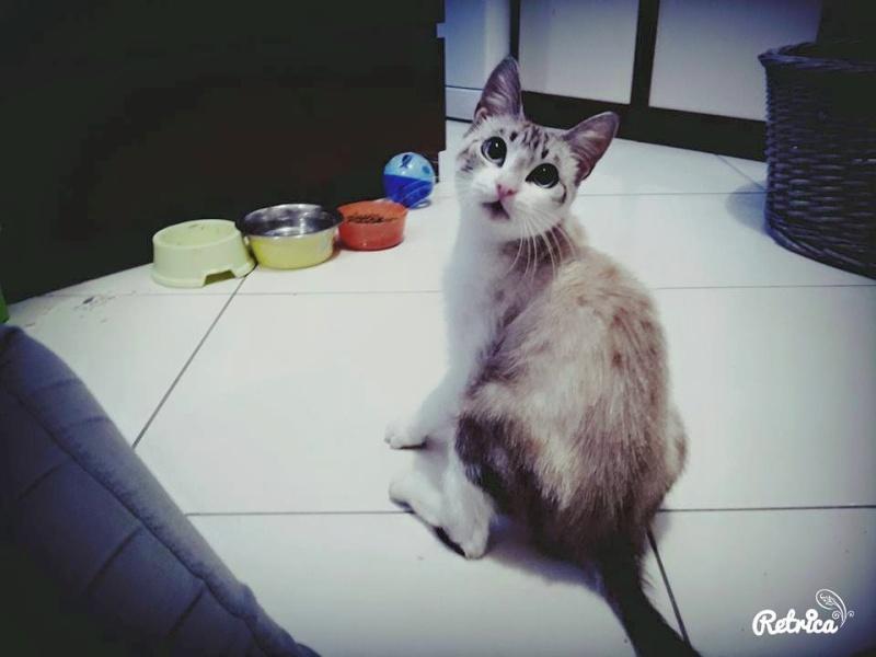 Laïka jeune chatte typée siamoise, gestante, à la rue 11141111