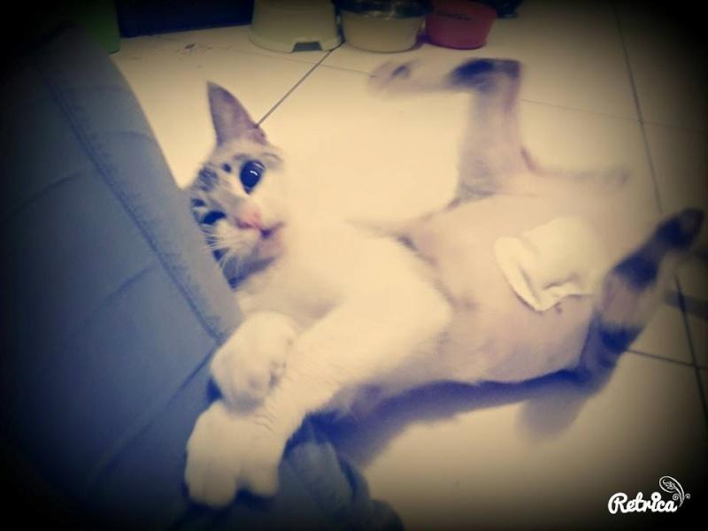 Laïka jeune chatte typée siamoise, gestante, à la rue 11745411