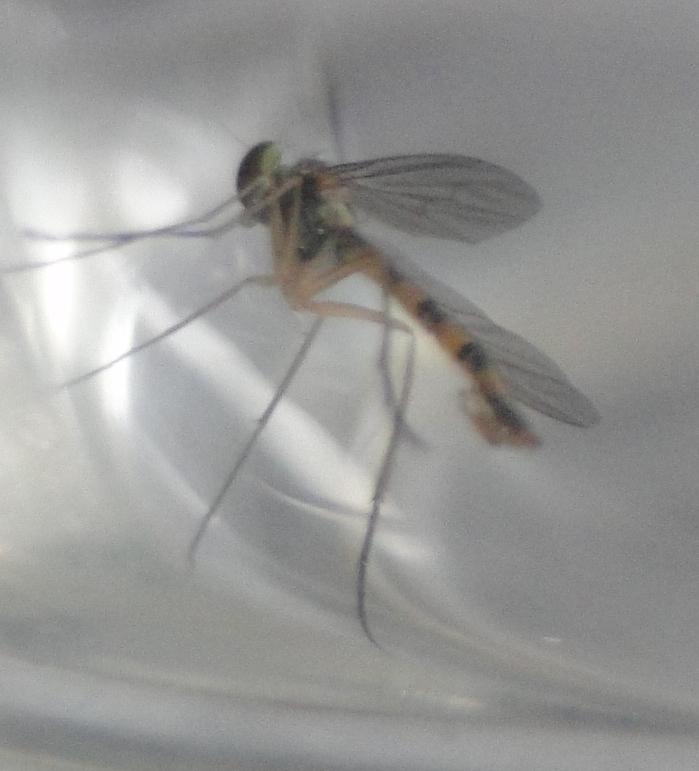 [Sciapus sp.] svp : Moustique ou mouche (tigrée) ???? Dsc01913