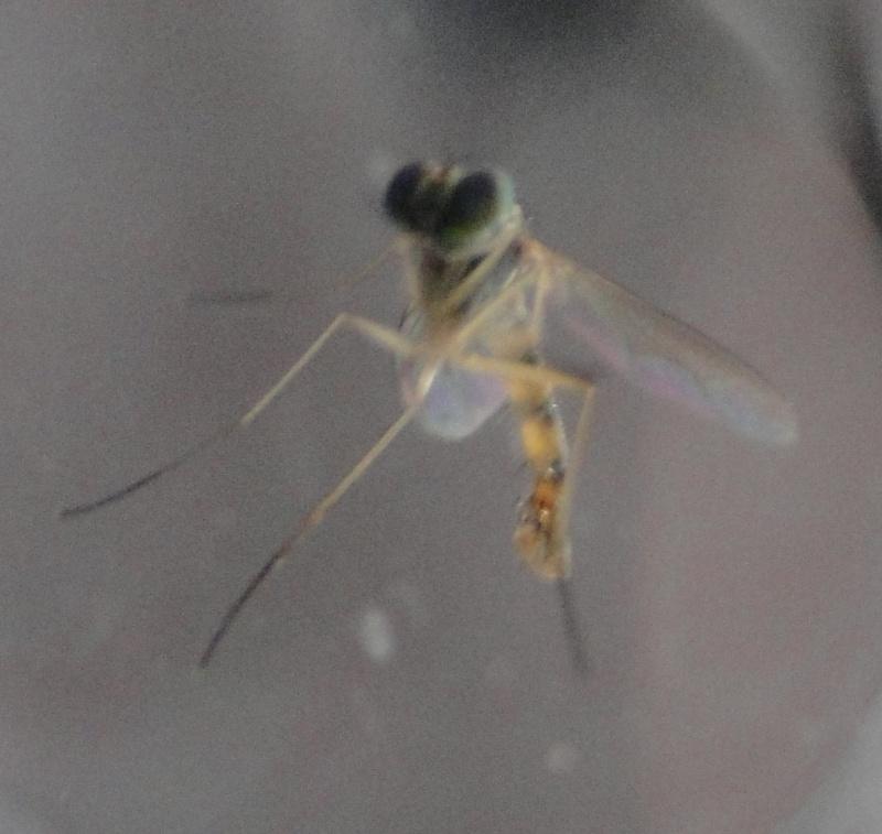 [Sciapus sp.] svp : Moustique ou mouche (tigrée) ???? Dsc01914