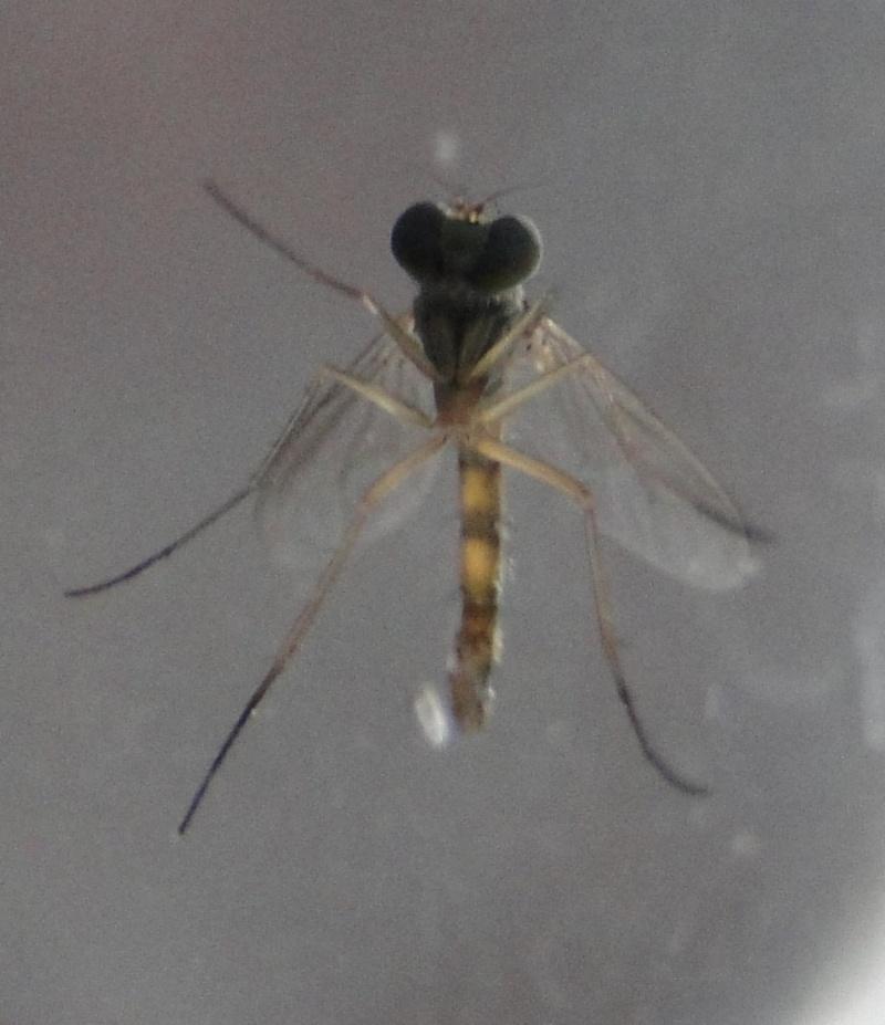 [Sciapus sp.] svp : Moustique ou mouche (tigrée) ???? Dsc01915