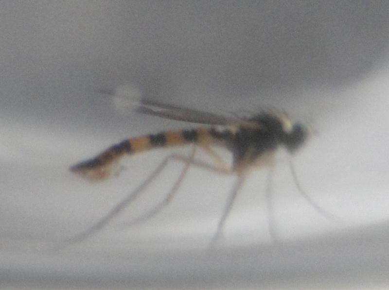 [Sciapus sp.] svp : Moustique ou mouche (tigrée) ???? Dsc01916