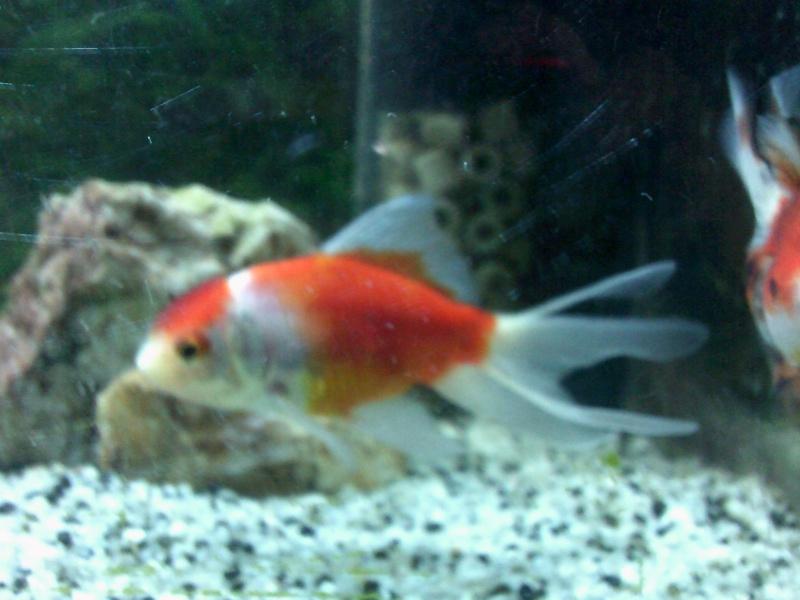 mon 136L poissons japonais Dscf0010