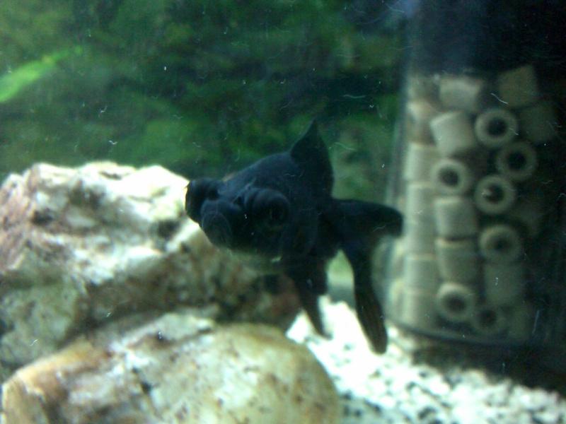 mon 136L poissons japonais Dscf0011