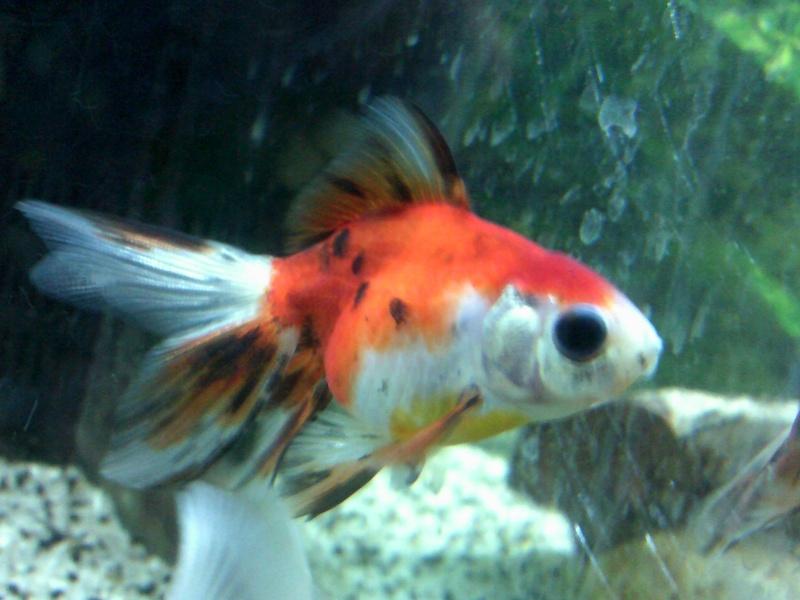 mon 136L poissons japonais Dscf0012