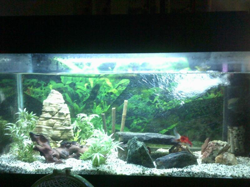 mon 136L poissons japonais Dscf0013