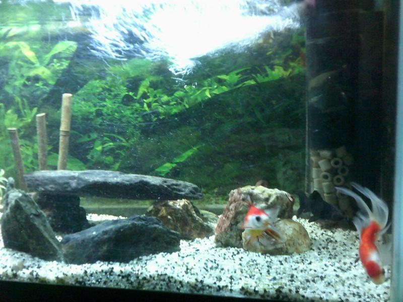 mon 136L poissons japonais Dscf0015