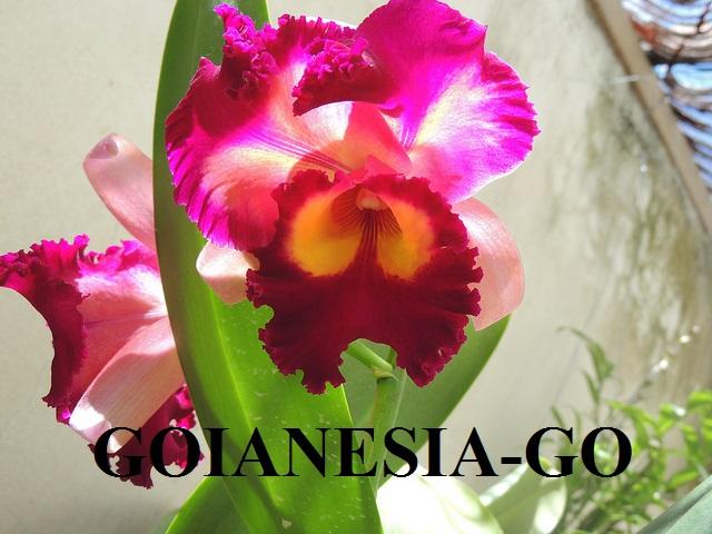 Orquideas Goianésia