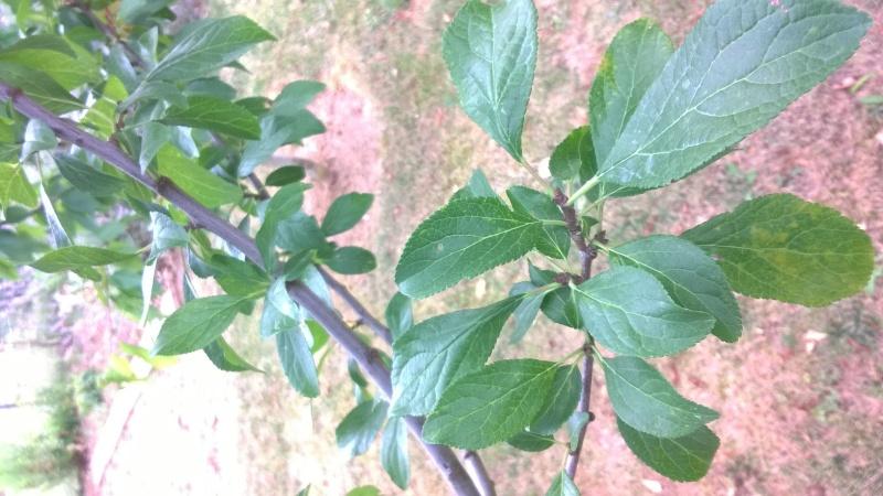 identification d'un arbustre Feuill18