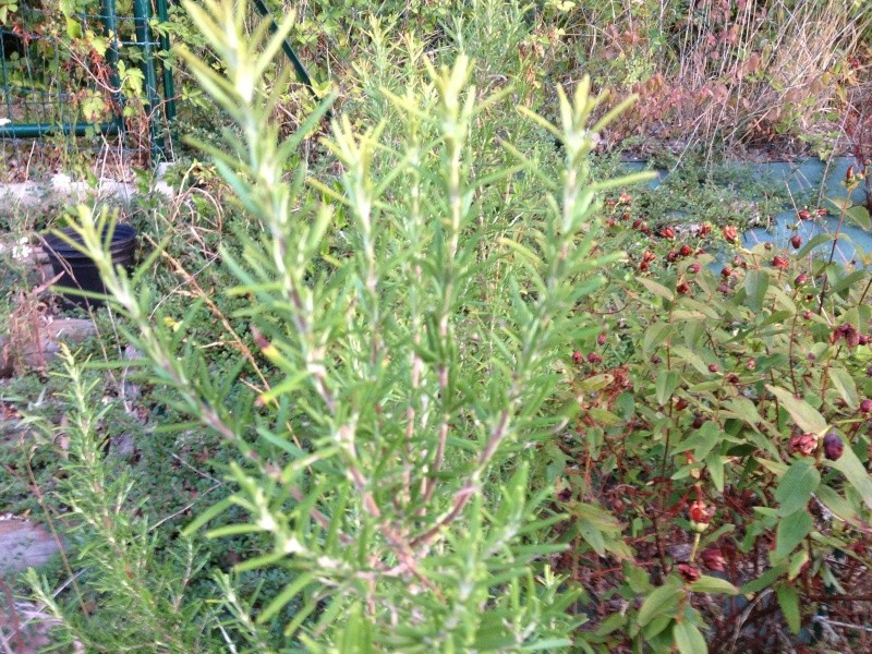 identification d'un arbuste...........Romarin !!! Img_0810
