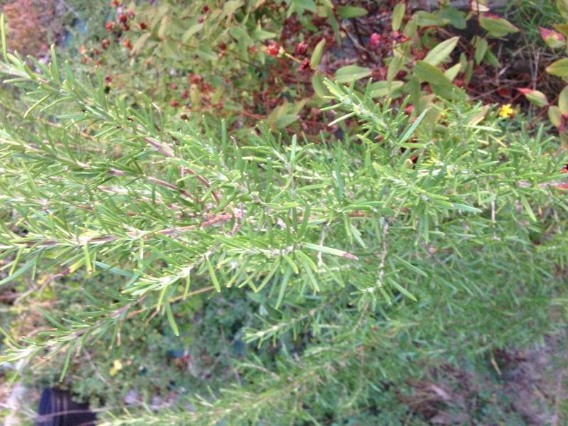 identification d'un arbuste...........Romarin !!! Img_0811