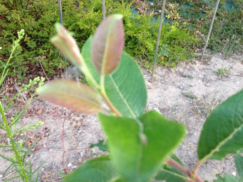 identification arbuste.............Salix caprea !!! Img_0812