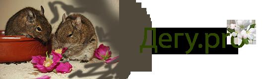 Дегу (чилийская белка)