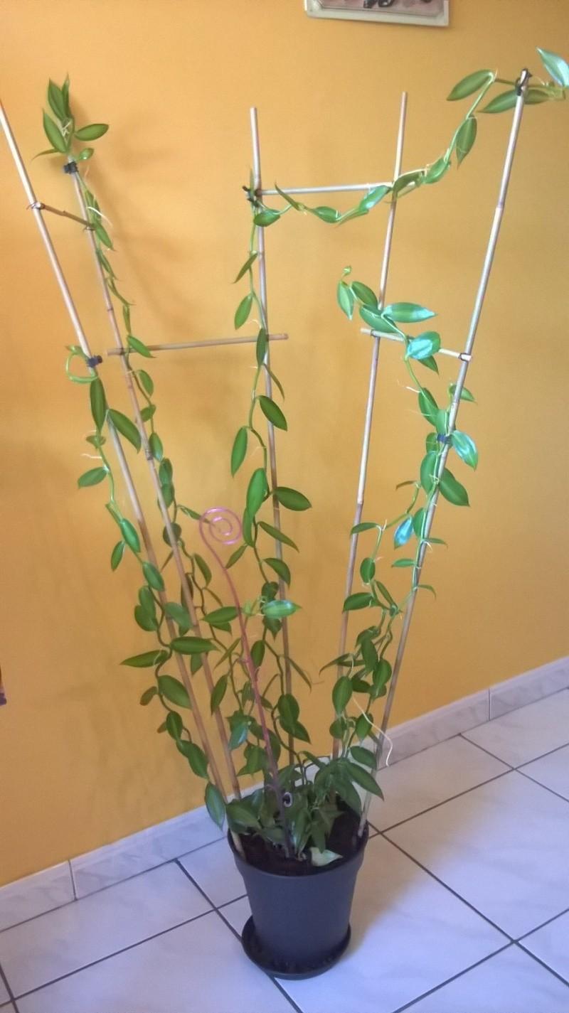 Vanilla planifolia - orchidée vanille Wp_20114