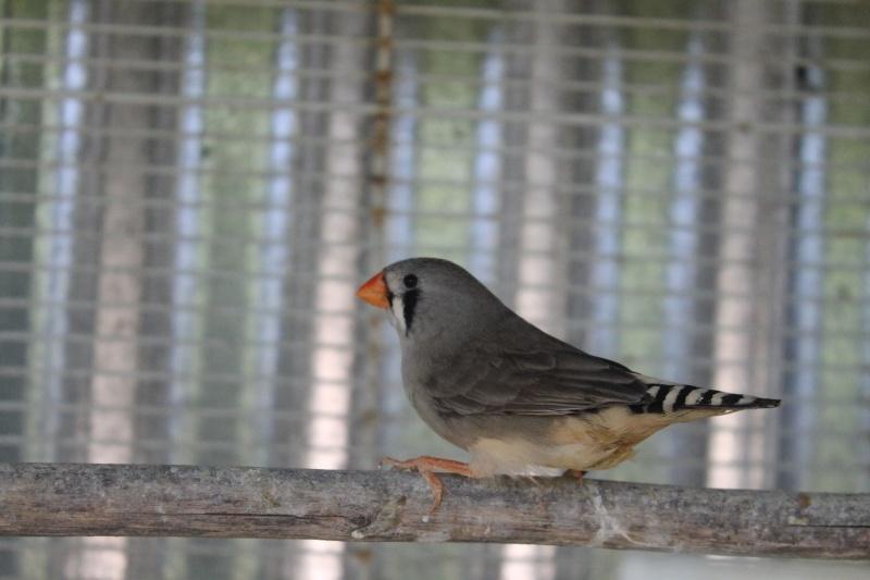 Mâle dos pâle gris et femelle grise/agate  Img_3920