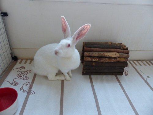 Association White Rabbit - Réhabilitation des lapins de laboratoire - Page 2 Acacia11