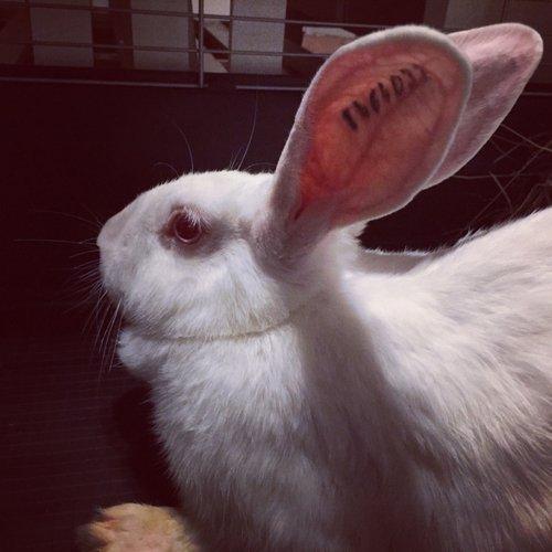 Association White Rabbit - Réhabilitation des lapins de laboratoire - Page 2 Alice_11