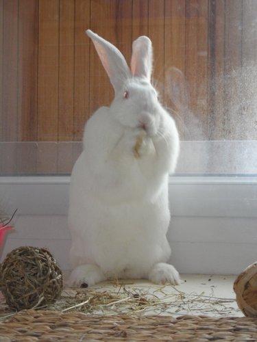Association White Rabbit - Réhabilitation des lapins de laboratoire - Page 2 Apple_10