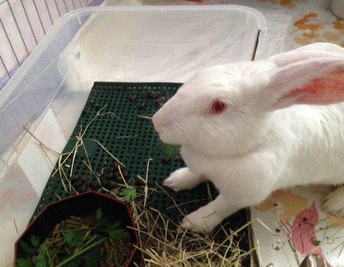 Association White Rabbit - Réhabilitation des lapins de laboratoire - Page 2 Arwen_10