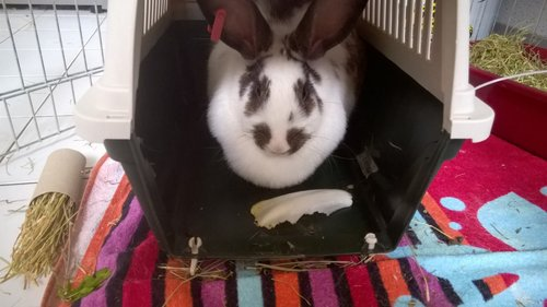 Association White Rabbit - Réhabilitation des lapins de laboratoire - Page 2 Azalee12