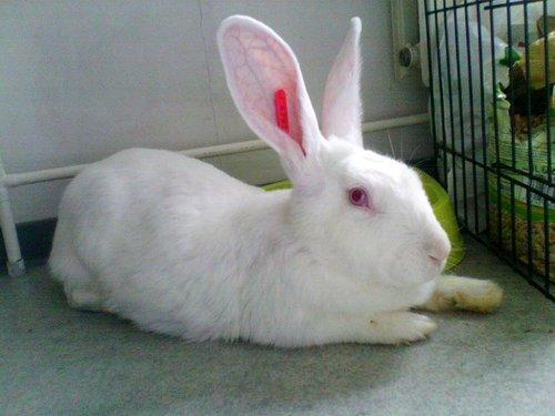 Association White Rabbit - Réhabilitation des lapins de laboratoire - Page 2 Azur_p10