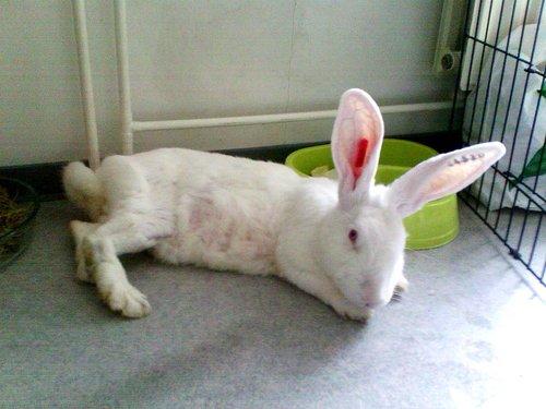 Association White Rabbit - Réhabilitation des lapins de laboratoire - Page 2 Azur_p11