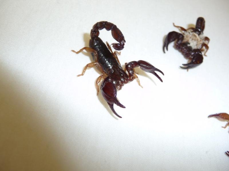 IDing Cozumel Scorpions Scorpi15