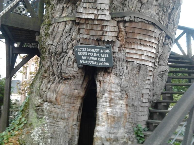 le chêne d'allouville-bellefosse A85c2c10