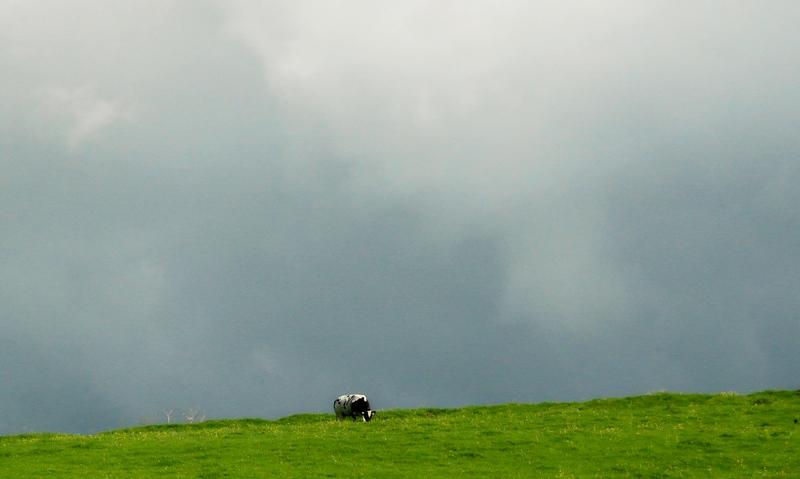 seul au monde  Vache10