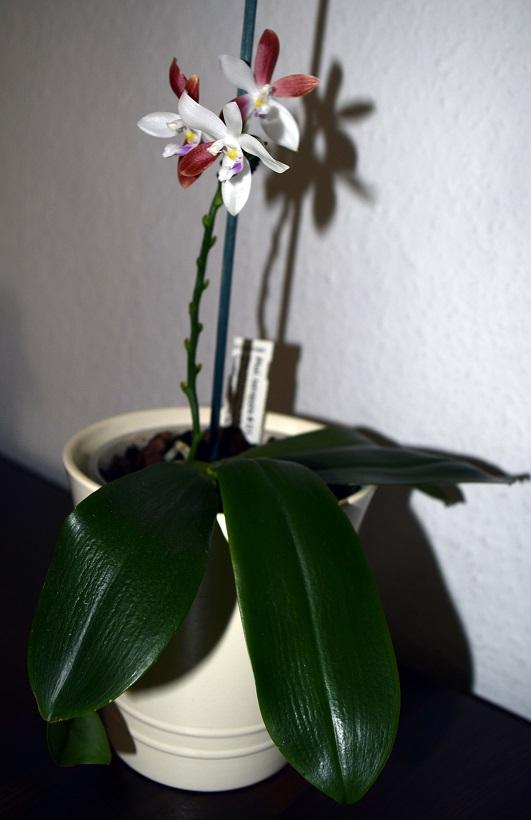 Phalaenopsis tetraspis - Seite 2 Phal_t13